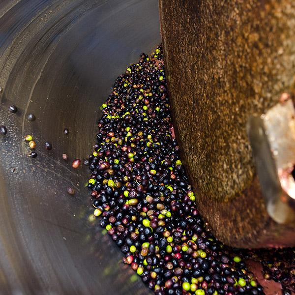 aceitunas-olivares-del-lantiscar-med
