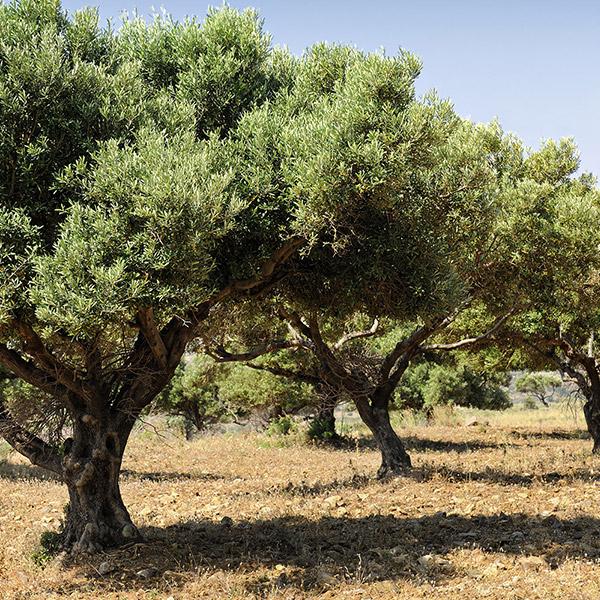 olivares-delantiscar-olivar-